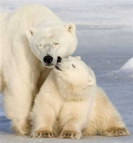 Polar Bears Kissing