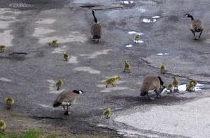 goose-trek-to-the-lake