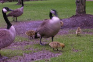 more-blurry-geese-and-goslings