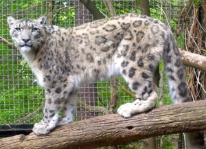 "Snow Leopard says, ""You talkin' to me?!"""