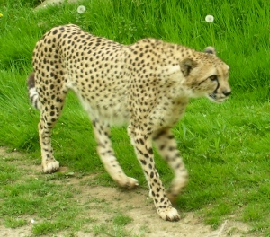 Beautiful cheetah in the wilds of....Cleveland, Ohio.